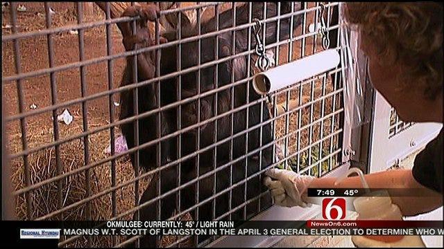 Wild Wednesday: Chimpanzees At Tulsa Zoo