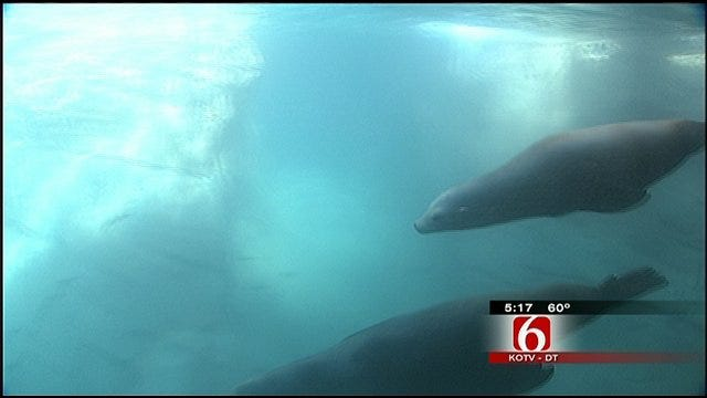 Sea Lions Return To Their New Home At Tulsa Zoo