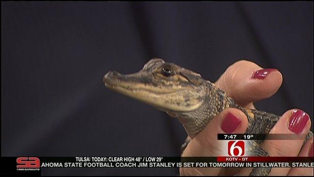 Wild Wednesday: Baby Alligator