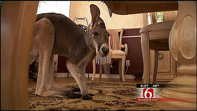 Irwin The Kangaroo And His Owner Leave Broken Arrow