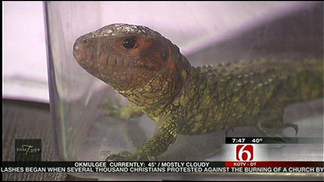 Wild Wednesday - Caiman Lizard