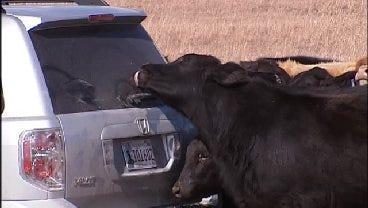 WEB EXTRA: News On 6 Vehicle Becomes Mobile Salt Lick In Ramona Pasture