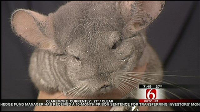 Wild Wednesday : Chinchilla