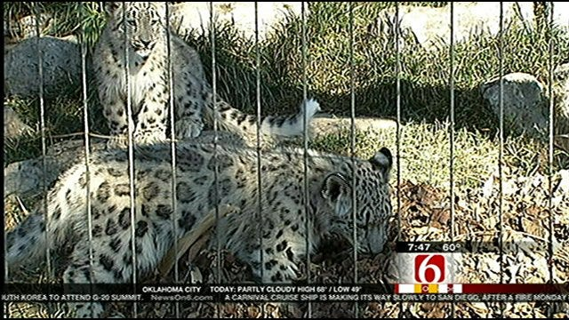 Wild Wednesday-Snow Leopards Cubs