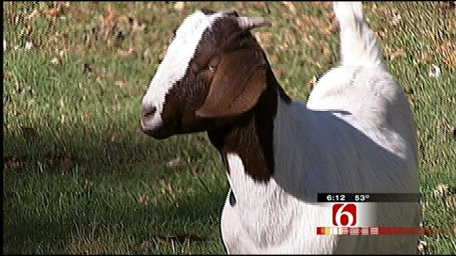 Goat Found Near Tulsa Highway Becomes Part Of Broken Arrow Family