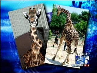 New Twist In Mystery Surrounding Death Of Giraffe At Tulsa Zoo