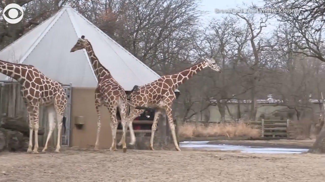 Watch: Giraffes Enjoy Warm Weather