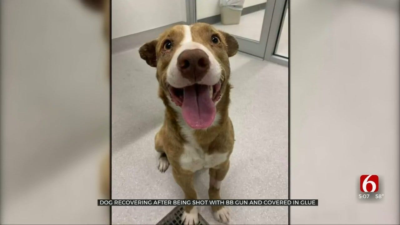 Dog Found Badly Abused In Creek Co. Continues Recovery