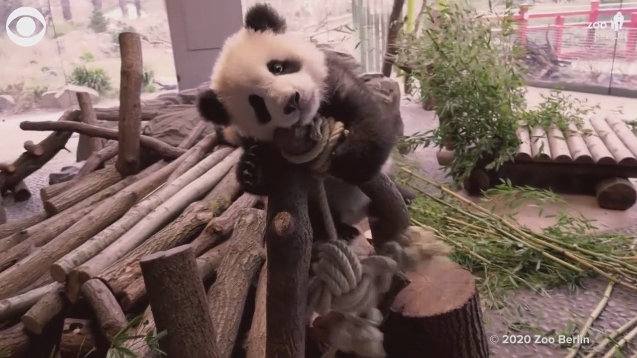 Watch: Panda Twins Play With New Toys