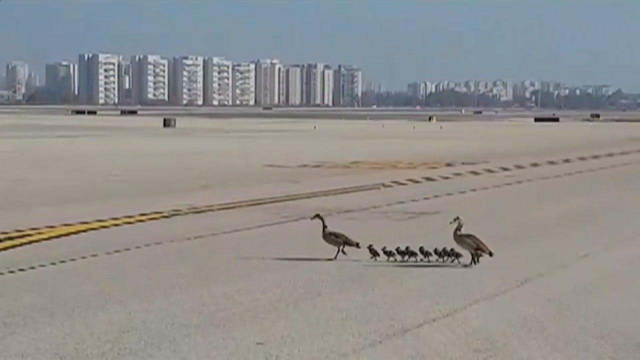 WATCH: Geese Cross Empty Tarmac In Israel