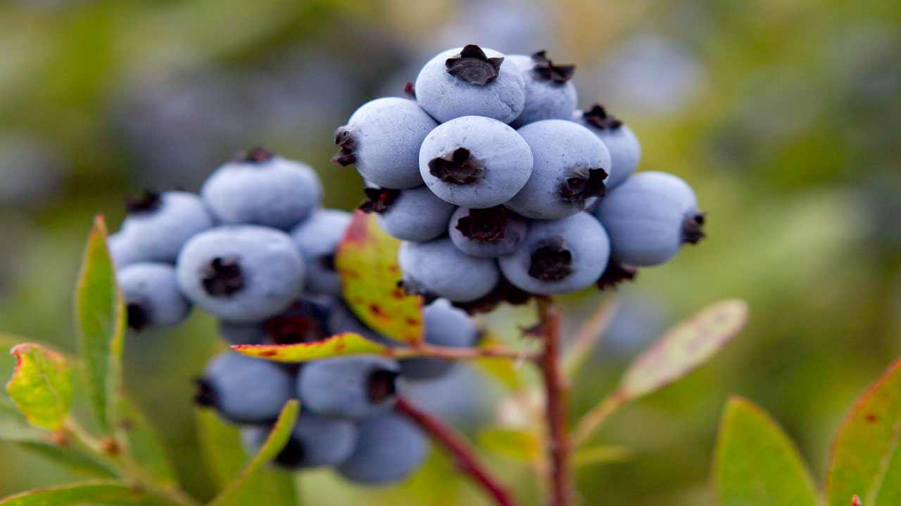 Blueberry Season Begins In Oklahoma