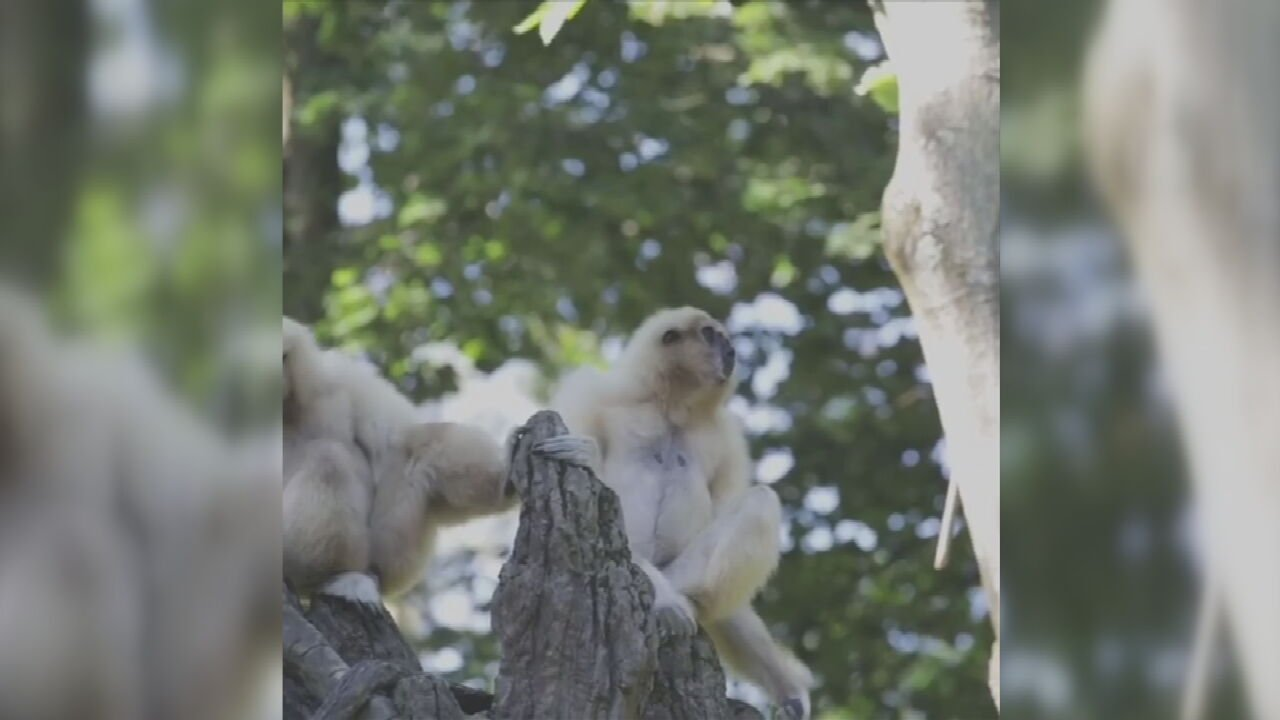 LISTEN: Gibbons At The Cincinnati Zoo Call Out Every Morning