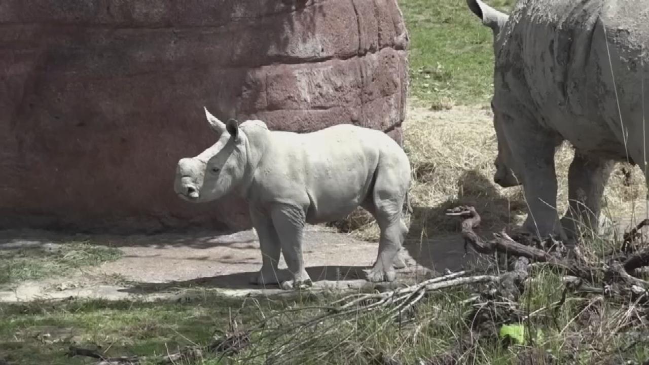 WATCH: Newborn White Rhino Debuts At Switzerland Zoo