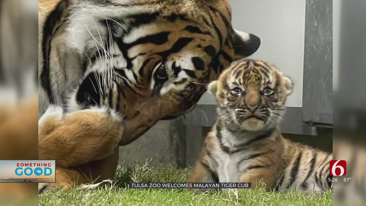 Tulsa Zoo Offers Visitors Chance To Catch Live Video Of New Tiger Cub