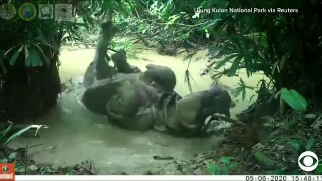 Watch: Wild Rhino Makes a Splash