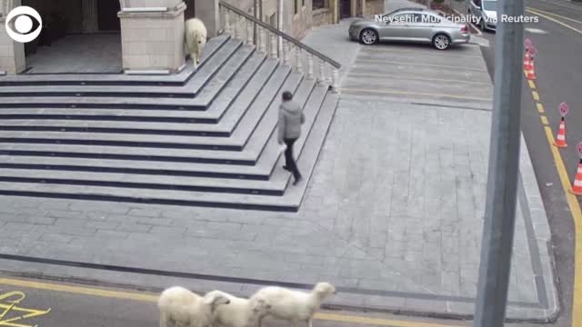 Watch: Sheep, Goat Chase People At City Hall In Turkey