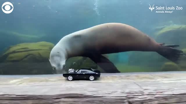 Sea Lions At The Saint Louis Zoo Stay Active, Chase Toy Cars