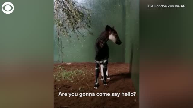 Watch: Okapi Born At London Zoo