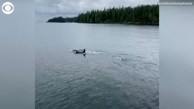 Rare White Killer Whale Spotted Off Alaskan Coast