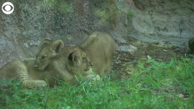 Watch: Lion Cubs Make Public Debut At Zoo In Rome