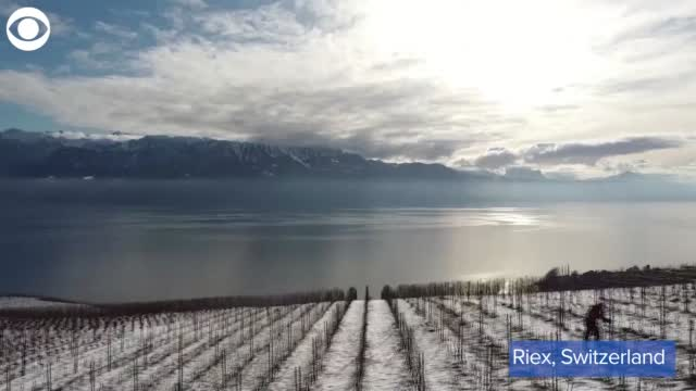 Watch: Snow Covers Vineyard In Switzerland