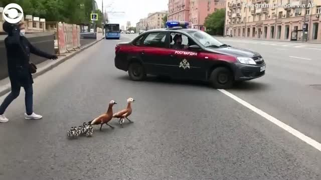 Watch: A Family Of Ducks Get Special Escort Across Busy Road