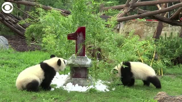 Watch: Panda Twins Celebrate First Birthday