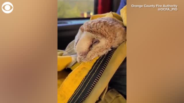WATCH: Owl rescued from California Wildfire