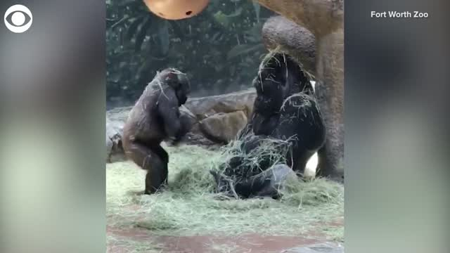Watch: Young Gorilla Tries To Play With Dad