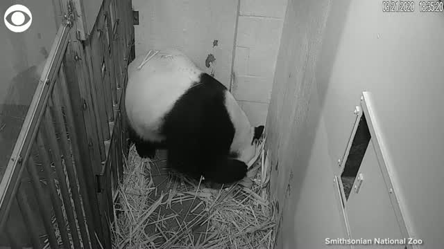 Giant Panda Gives Birth To Cub At The Smithsonian's National Zoo