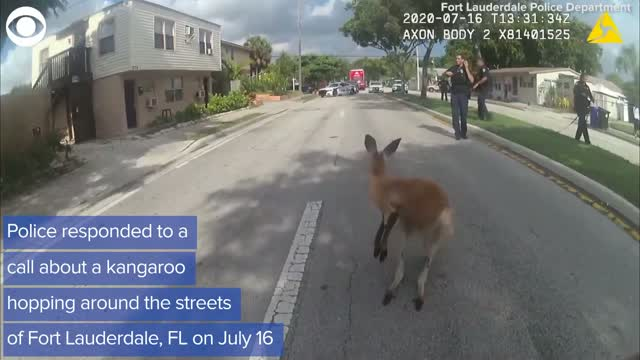 Police In Florida Capture Runaway Kangaroo