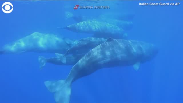 WATCH: Pod Of Whales Spotted Off Southern Italy
