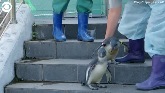Watch: Two Penguins Take A Dip For The First Time