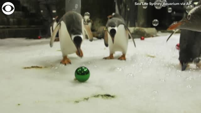 Watch: Penguins Celebrate Christmas In Australia