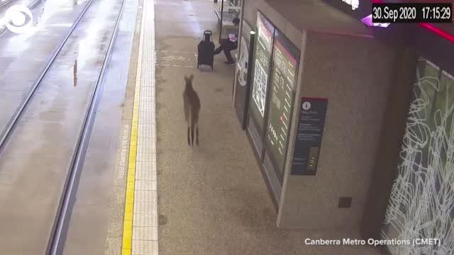 Watch: Kangaroo Hops Through Australian Train Station