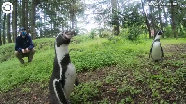 WATCH: 2 Oregon Zoo Penguins Take A Hike