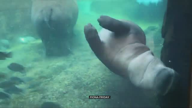 Watch: Fiona The Hippo Give Her Mom A 'Crash Kiss'