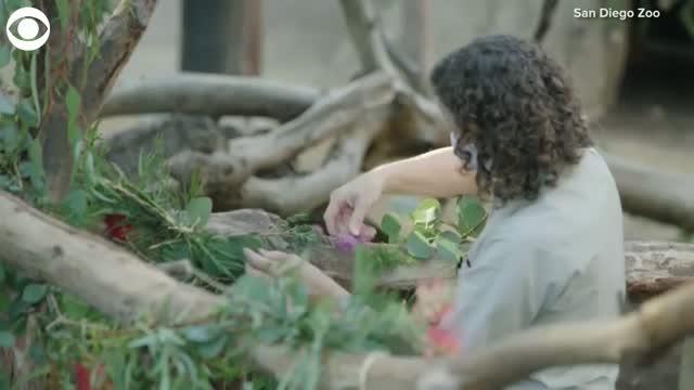 Watch: San Diego Zoo Throws Birthday Party For Koala