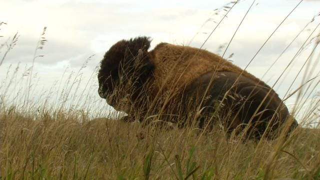 Bison Return To The Tallgrass Prairie Preserve
