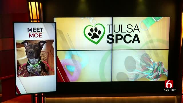 Watch: Tulsa's SPCA Looks For A Forever Home For Moe