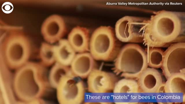 Watch: Community In Colombia Helps Bees With 'Bee Hotels'