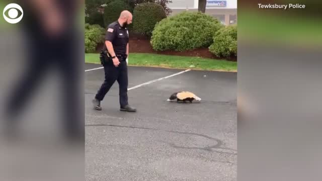 Watch: Massachusetts Officer Helps Skunk In A Tight Situation