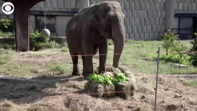WATCH: Elephant celebrates her 57th birthday