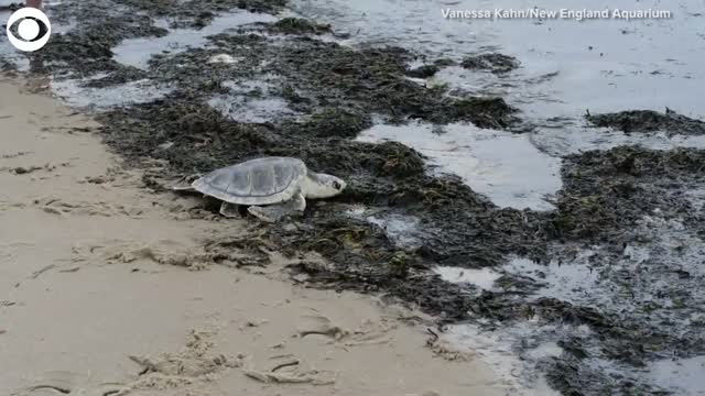 Watch: Rescued Sea Turtles Released Into Water off Cape Cod