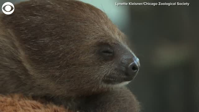 Watch: Sloth Is Newest Member Of Zoo's Animal Ambassador Program