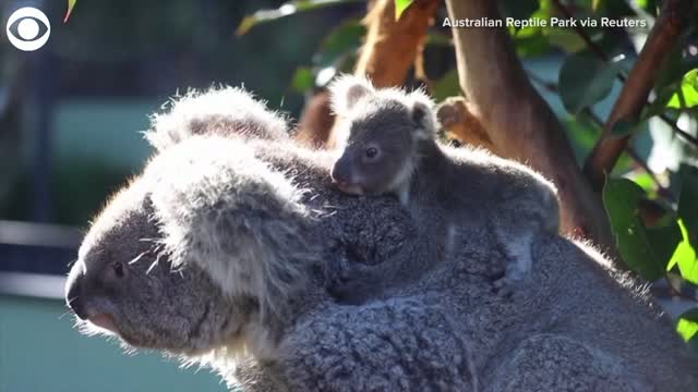 Watch: Koala Sisters Meet For The First Time