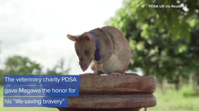 Watch: Rat Gets Medal For Detecting Landmines In Cambodia
