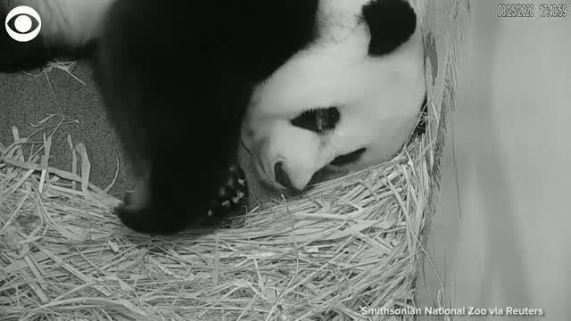 Watch: Panda Mom Cuddles Her Cub