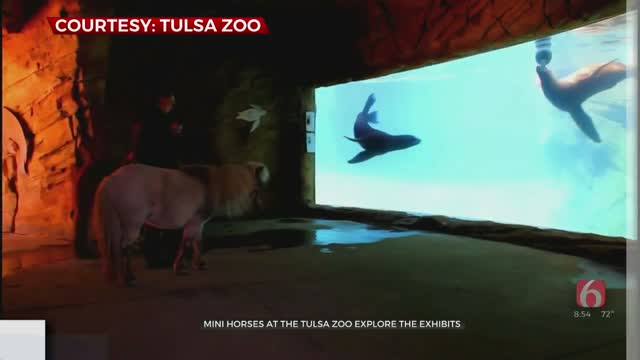 Watch: Miniature Horses Tour Tulsa Zoo