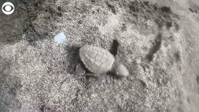 Watch: Roughly 10,000 Baby Turtles Released Into The Ocean